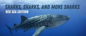 Sharks Red Sea
